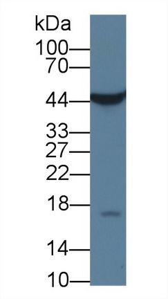 Anti-Beta Actin (ACTB) Monoclonal Antibody