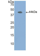 Anti-Beta Actin (ACTB) Polyclonal Antibody