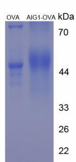 OVA Conjugated Androgen Induced Protein 1 (AIG1)