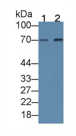 Monoclonal Antibody to Beta-Site APP Cleaving Enzyme 1 (bACE1)