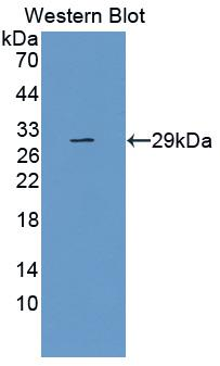 Monoclonal Antibody to Toll Like Receptor 5 (TLR5)