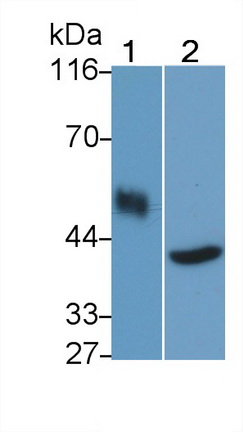 Polyclonal Antibody to Cluster Of Differentiation 14 (CD14)