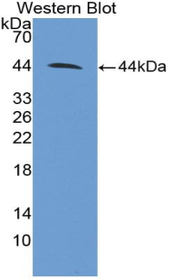 Polyclonal Antibody to Cluster Of Differentiation 4 (CD4)