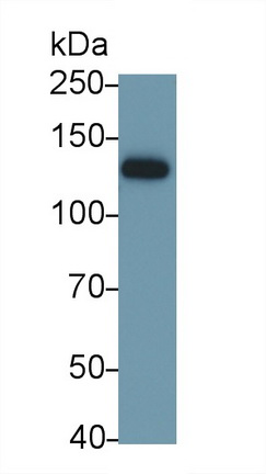 Polyclonal Antibody to Integrin Alpha V (ITGaV)