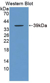 Polyclonal Antibody to Cytochrome C Oxidase Subunit VIc (COX6c)