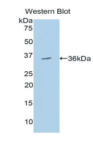 Polyclonal Antibody to 150 kDa Oxygen Regulated Protein (ORP150)