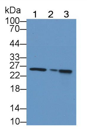 Polyclonal Antibody to Cytochrome C Oxidase Subunit II (COX2)