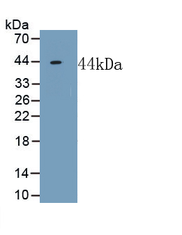 Polyclonal Antibody to Neuropeptide FF (NPFF)