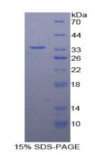 Recombinant Contactin Associated Protein 1 (CNTNAP1)