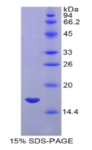 Recombinant Myosin Light Chain 7, Regulatory (MYL7)