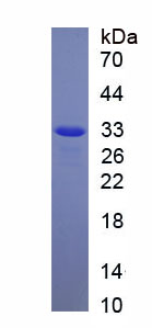 Recombinant NLR Family, Pyrin Domain Containing Protein 3 (NLRP3)