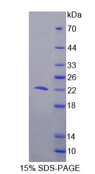 Recombinant Programmed Cell Death Protein 6 (PDCD6)
