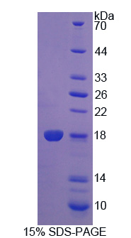 Recombinant Programmed Cell Death Protein 5 (PDCD5)