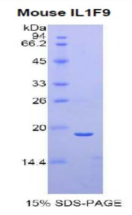 Recombinant Interleukin 1 Family, Member 9 (IL1F9)