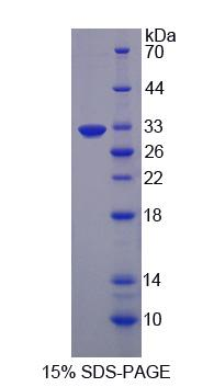Recombinant EGF Like Domain Protein, Multiple 7 (EGFL7)