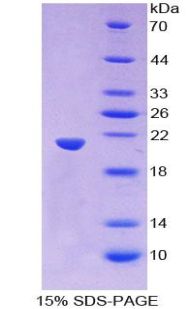 Recombinant Wingless Type MMTV Integration Site Family, Member 11 (WNT11)